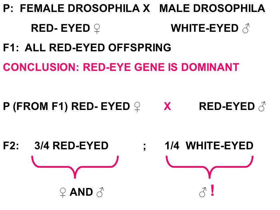 P: FEMALE DROSOPHILAX MALE DROSOPHILA RED- EYED ♀WHITE-EYED ♂ F1: ALL RED-EYED OFFSPRING CONCLUSION: RED-EYE GENE IS DOMINANT P (FROM F1) RED- EYED ♀