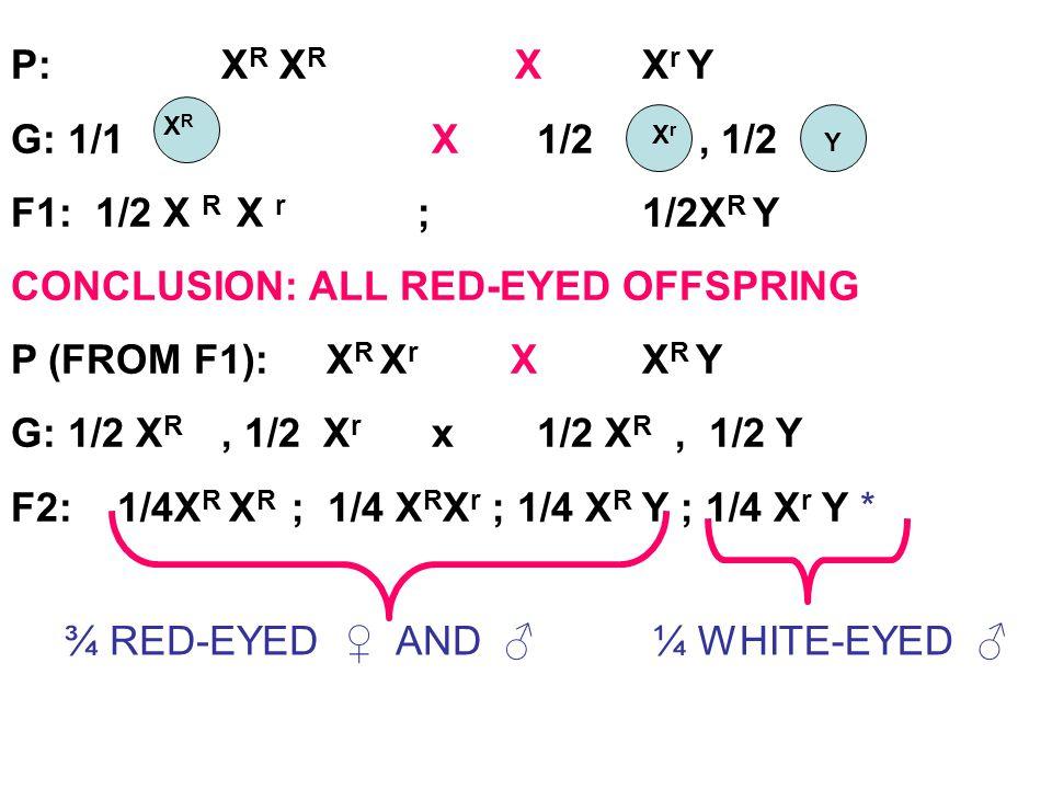 P: X R X R XX r Y G: 1/1 X1/2, 1/2 F1: 1/2 X R X r ; 1/2X R Y CONCLUSION: ALL RED-EYED OFFSPRING P (FROM F1): X R X r X X R Y G: 1/2 X R, 1/2 X r x1/2
