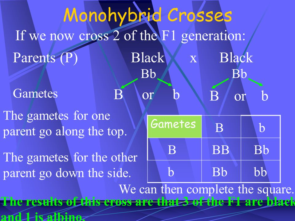 Monohybrid Crosses If we now cross 2 of the F1 generation: Parents (P)BlackxBlack Bb Gametes B or b Gametes The gametes for one parent go along the to
