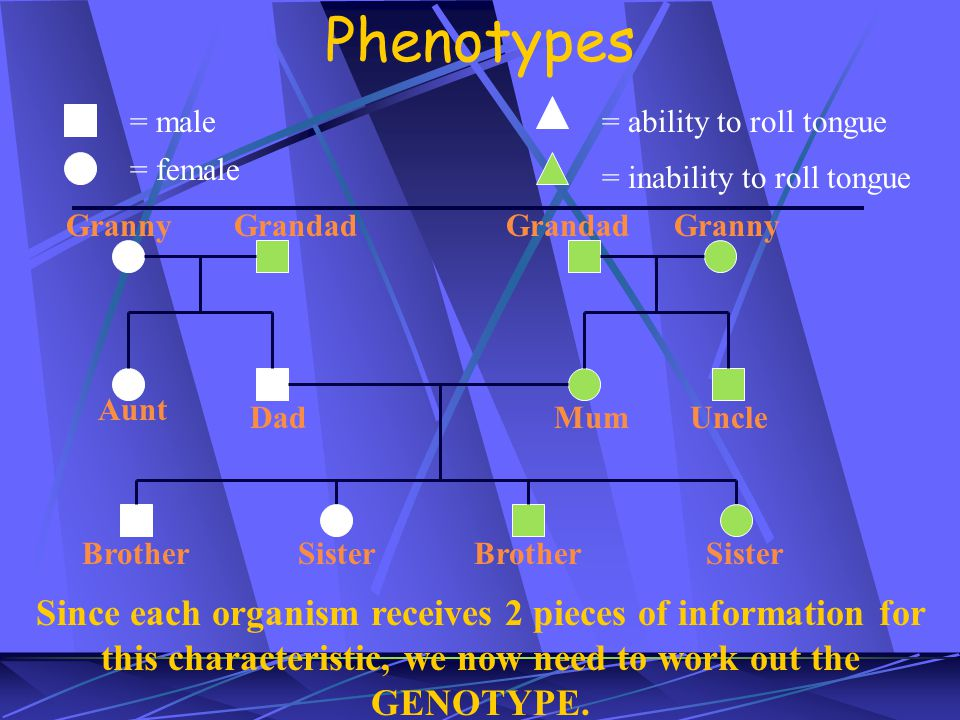 Phenotypes = male = female = ability to roll tongue = inability to roll tongue Granny Grandad Dad Aunt MumUncle Brother Sister Since each organism receives 2 pieces of information for this characteristic, we now need to work out the GENOTYPE.