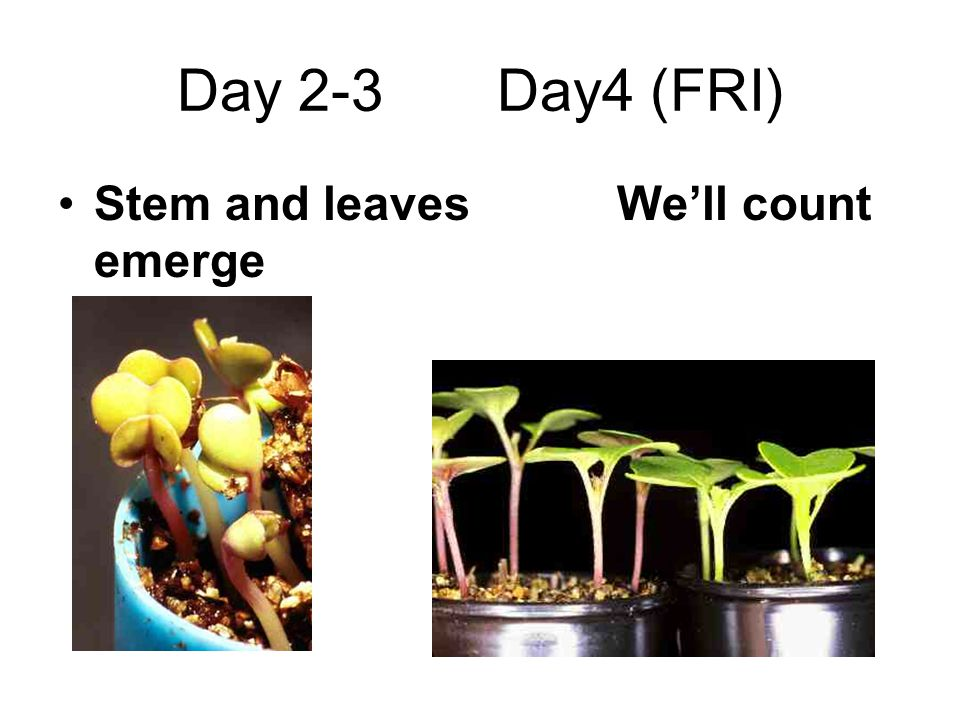 Day 2-3 Day4 (FRI) Stem and leaves We'll count emerge