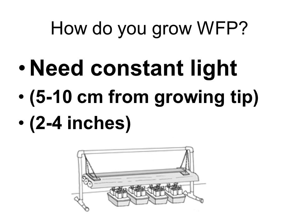 How do you grow WFP? Need constant moisture (Use pipette or small beaker)