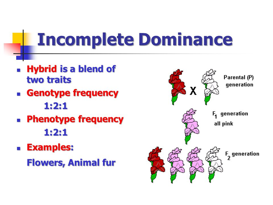 Incomplete Dominance Hybrid is a blend of two traits Hybrid is a blend of two traits Genotype frequency Genotype frequency1:2:1 Phenotype frequency Phenotype frequency1:2:1 Examples: Examples: Flowers, Animal fur