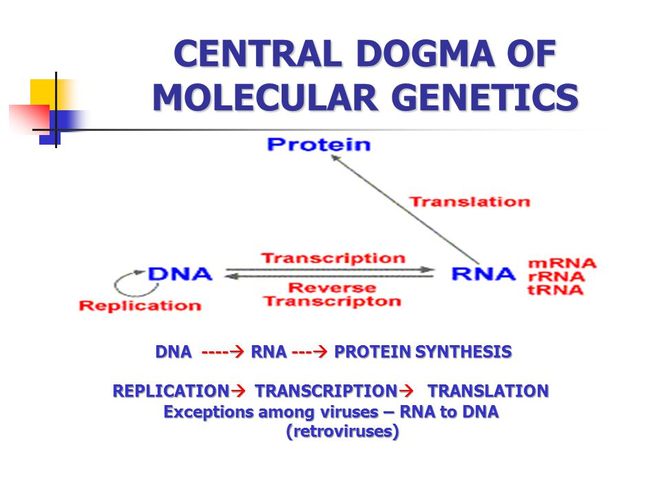 CENTRAL DOGMA OF MOLECULAR GENETICS DNA ----  RNA ---  PROTEIN SYNTHESIS DNA ----  RNA ---  PROTEIN SYNTHESIS REPLICATION  TRANSCRIPTION  TRANSLATION Exceptions among viruses – RNA to DNA (retroviruses) (retroviruses)