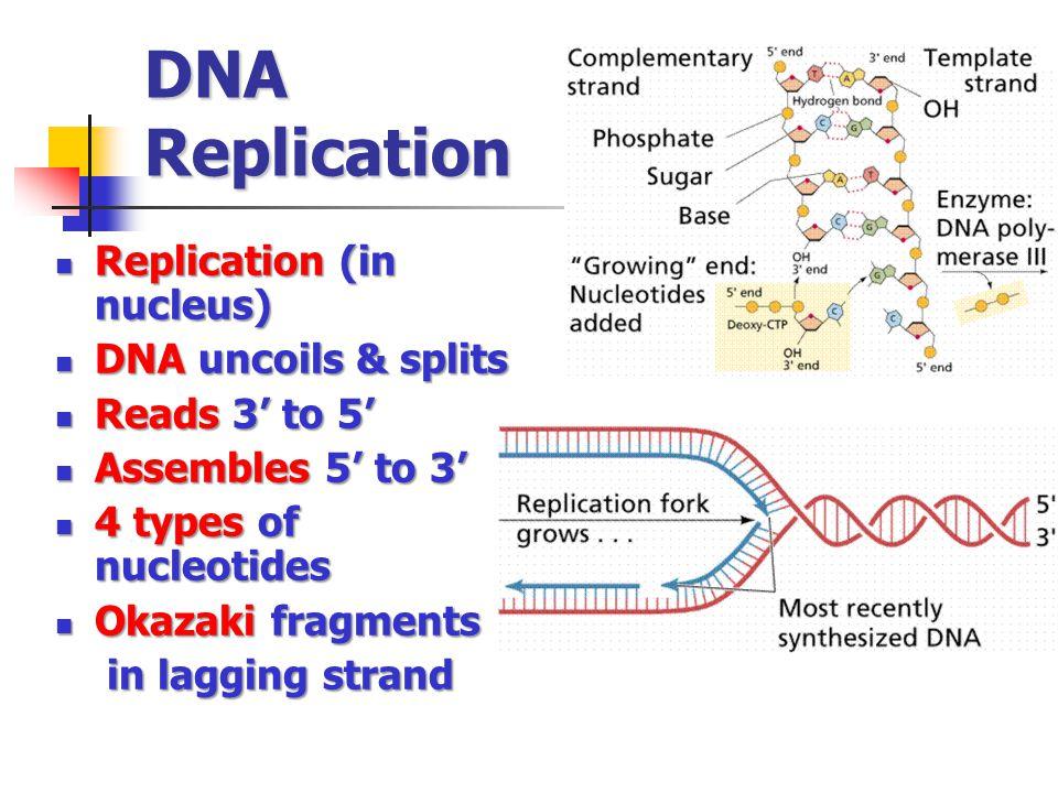 DNA Replication Replication (in nucleus) Replication (in nucleus) DNA uncoils & splits DNA uncoils & splits Reads 3' to 5' Reads 3' to 5' Assembles 5' to 3' Assembles 5' to 3' 4 types of nucleotides 4 types of nucleotides Okazaki fragments Okazaki fragments in lagging strand in lagging strand