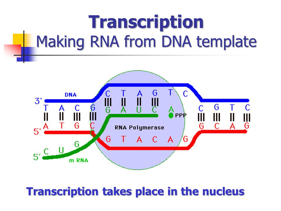 Transcription Making RNA from DNA template Transcription takes place in the nucleus