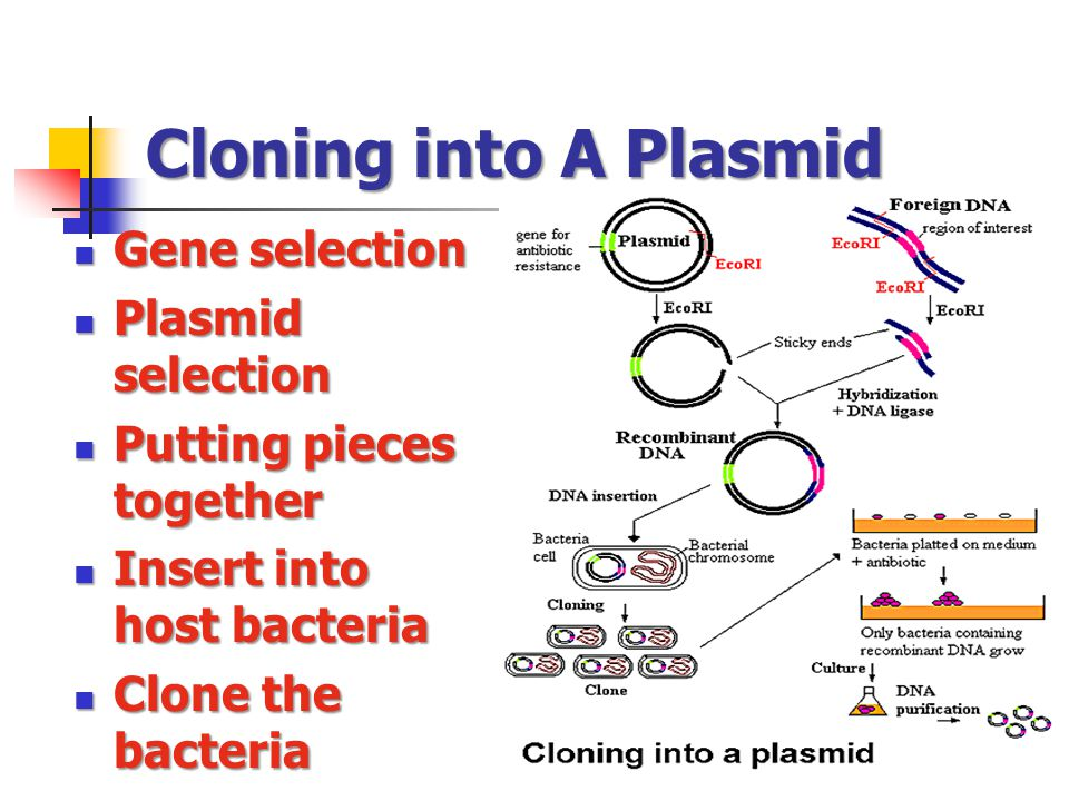 Cloning into A Plasmid Gene selection Gene selection Plasmid selection Plasmid selection Putting pieces together Putting pieces together Insert into host bacteria Insert into host bacteria Clone the bacteria Clone the bacteria