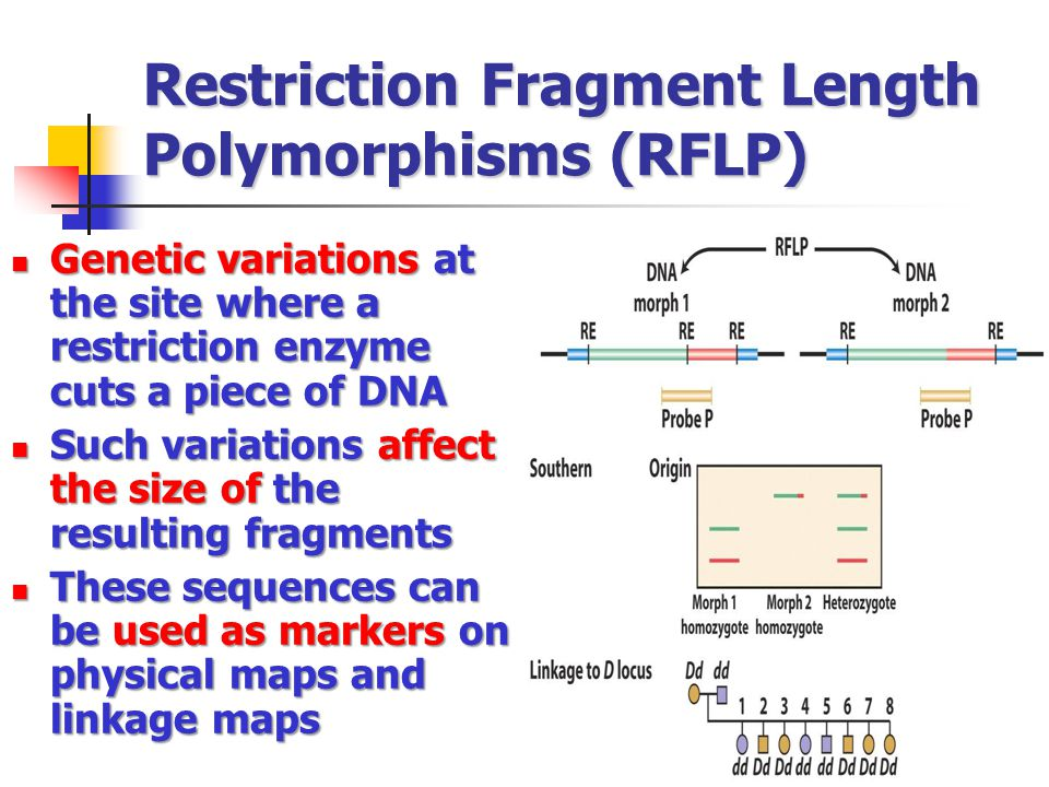 Restriction Fragment Length Polymorphisms (RFLP) Genetic variations at the site where a restriction enzyme cuts a piece of DNA Genetic variations at the site where a restriction enzyme cuts a piece of DNA Such variations affect the size of the resulting fragments Such variations affect the size of the resulting fragments These sequences can be used as markers on physical maps and linkage maps These sequences can be used as markers on physical maps and linkage maps