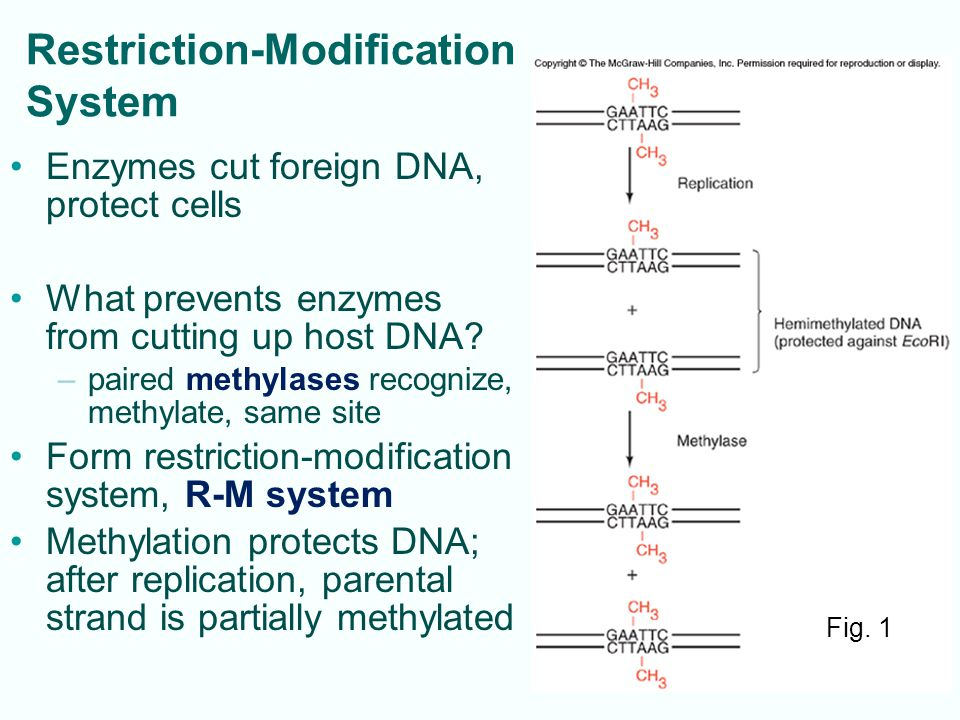 4-16 Genomic Libraries Large number of clones: all genes from species' genome Restriction fragments can be packaged into phage, about 16 – 20 kb per fragment ( often partial digests ) Need thousands of clones for library: ex.