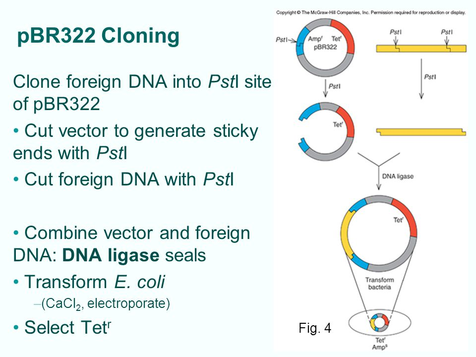 4-29 Standard PCR Invented by Kary Mullis in 1980s DNA polymerase copies selected region of DNA –Short DNA primers hybridize to DNA on either side of piece of interest – initiate DNA synthesis through that area, X –Selected region DNA doubles in amount each cycle Special heat-stable polymerases work after high temperatures that separate (denature) strands simplifies process – ex.