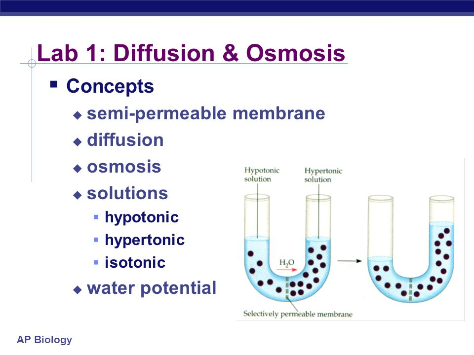 AP Biology Lab 1: Diffusion & Osmosis  Concepts  semi-permeable membrane  diffusion  osmosis  solutions  hypotonic  hypertonic  isotonic  water potential