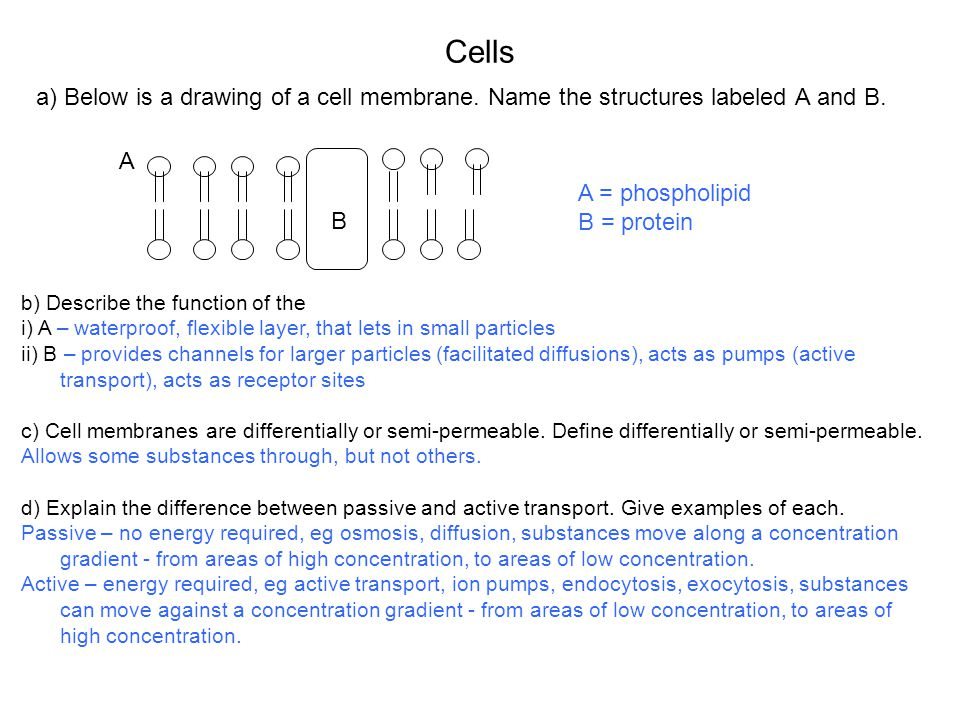 Cells a) Below is a drawing of a cell membrane.Name the structures labeled A and B.