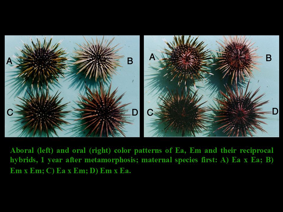 Aboral (left) and oral (right) color patterns of Ea, Em and their reciprocal hybrids, 1 year after metamorphosis; maternal species first: A) Ea x Ea; B) Em x Em; C) Ea x Em; D) Em x Ea.