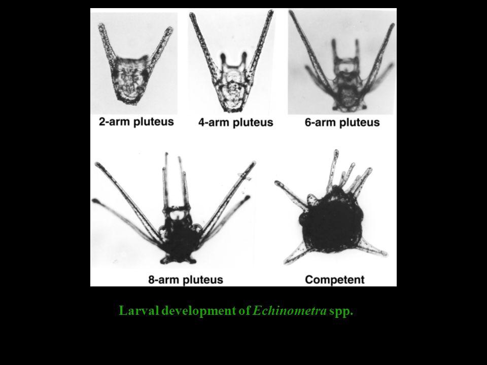 Larval development of Echinometra spp.