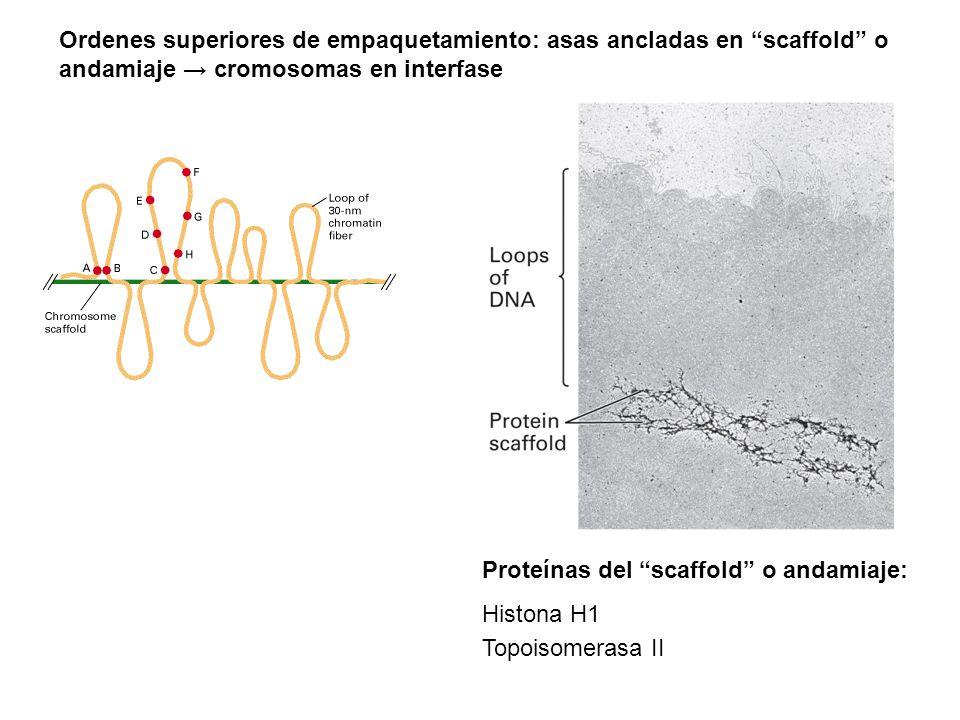 """Proteínas del """"scaffold"""" o andamiaje: Histona H1 Topoisomerasa II Ordenes superiores de empaquetamiento: asas ancladas en """"scaffold"""" o andamiaje → cro"""
