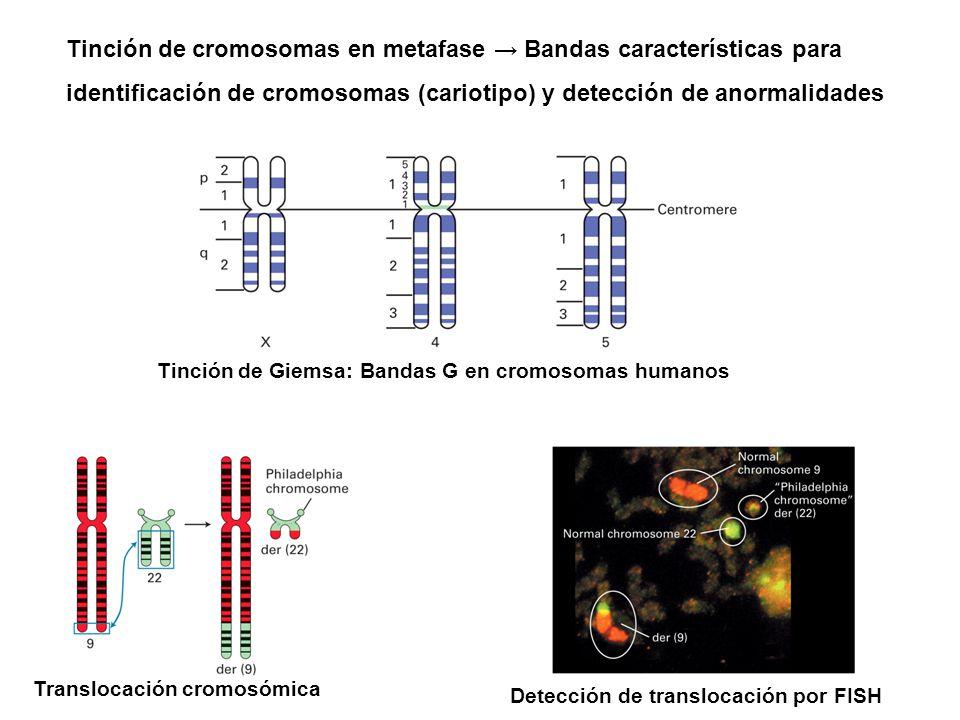 Tinción de cromosomas en metafase → Bandas características para identificación de cromosomas (cariotipo) y detección de anormalidades Tinción de Giems