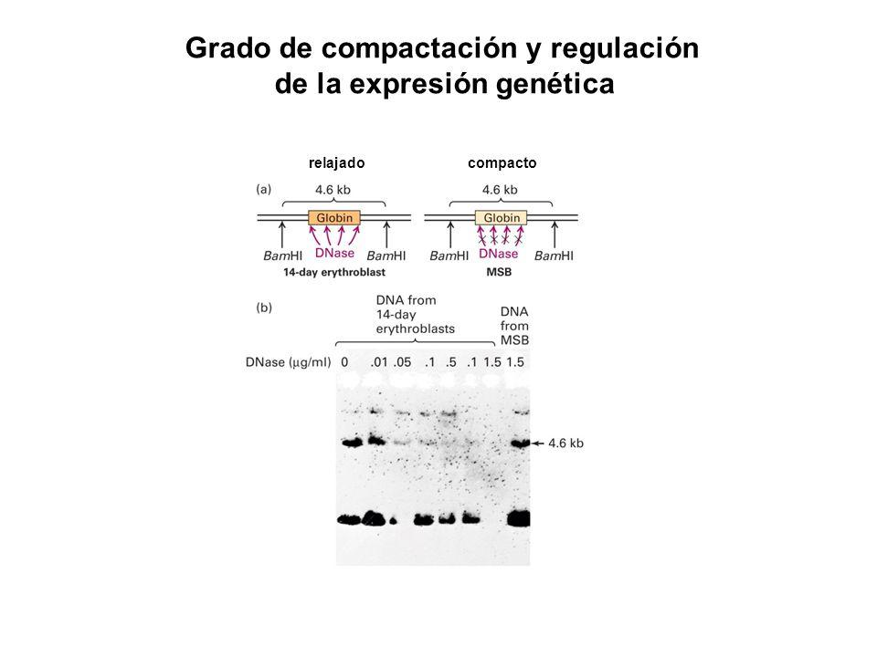 Grado de compactación y regulación de la expresión genética compactorelajado