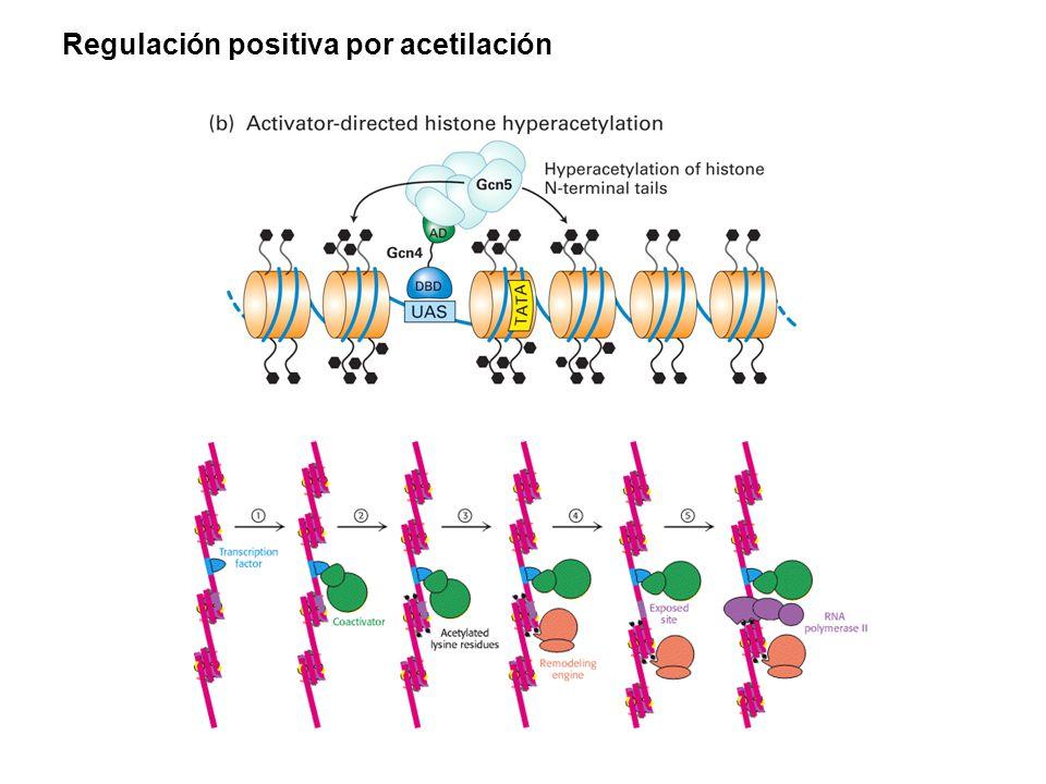 Regulación positiva por acetilación