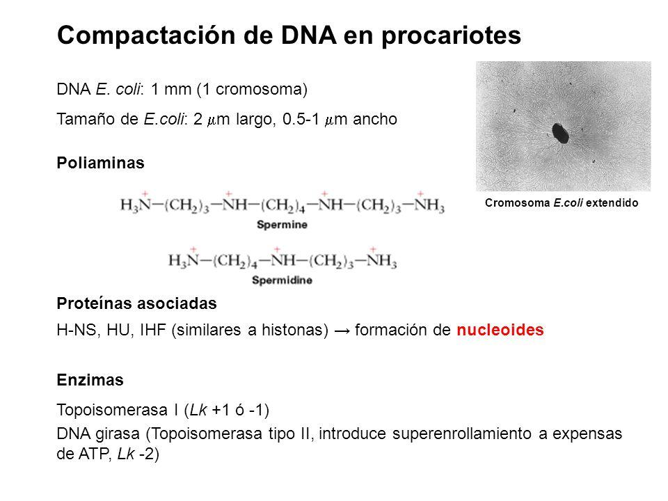 Compactación de DNA en procariotes DNA E. coli: 1 mm (1 cromosoma) Tamaño de E.coli: 2  m largo, 0.5-1  m ancho Poliaminas Proteínas asociadas H-NS,