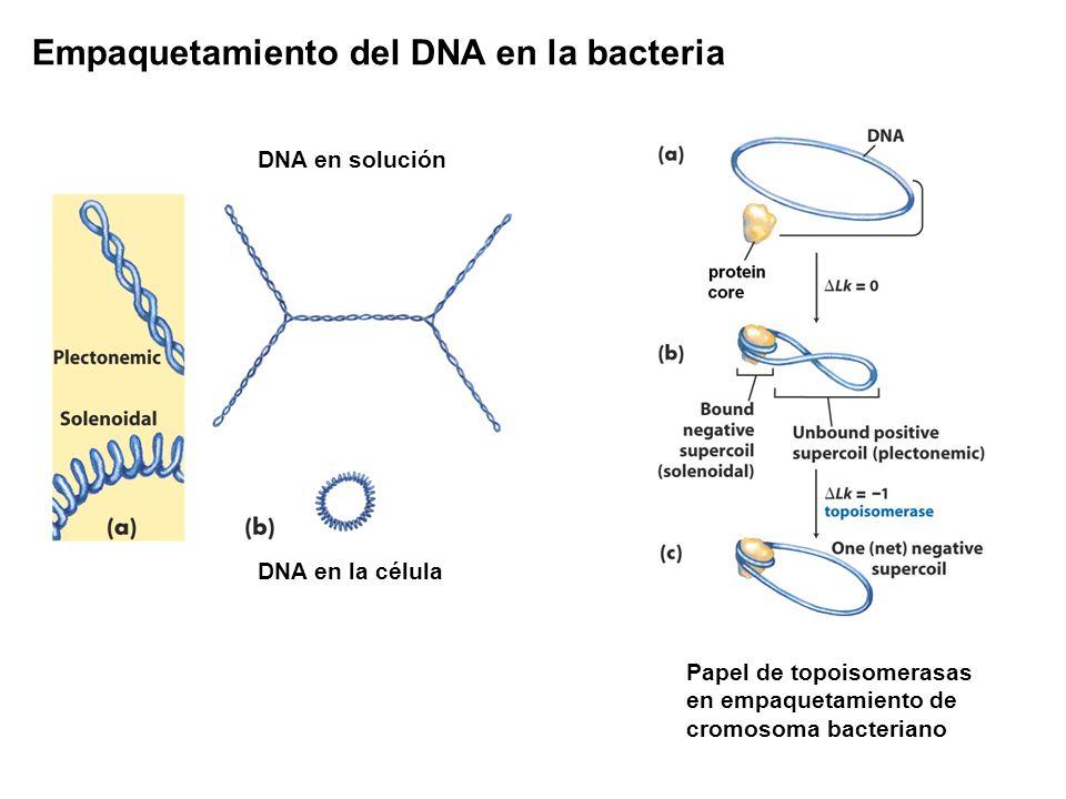 DNA en solución DNA en la célula Papel de topoisomerasas en empaquetamiento de cromosoma bacteriano Empaquetamiento del DNA en la bacteria