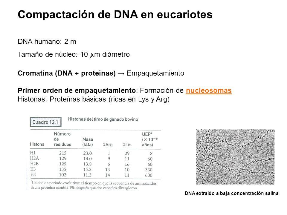 Compactación de DNA en eucariotes DNA humano: 2 m Tamaño de núcleo: 10  m diámetro Cromatina (DNA + proteínas) → Empaquetamiento Primer orden de empa