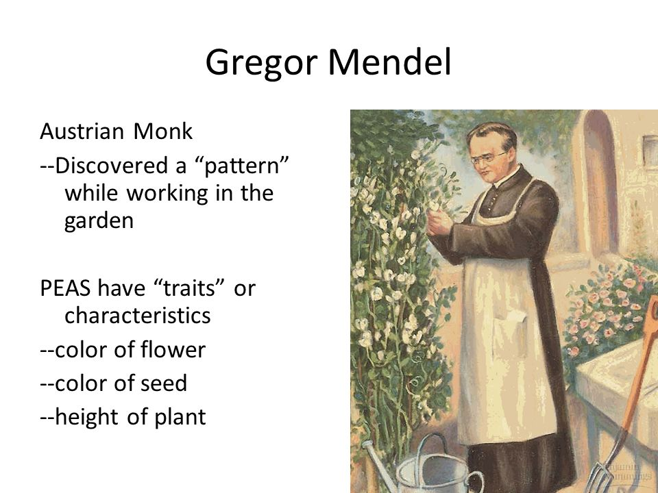 Gregor Mendel Austrian Monk --Discovered a pattern while working in the garden PEAS have traits or characteristics --color of flower --color of seed --height of plant