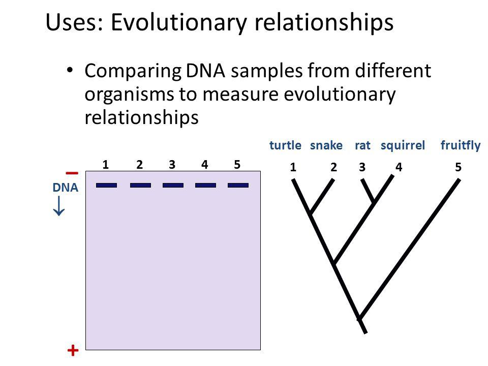 Gel Electrophoresis longer fragments shorter fragments power source completed gel gel DNA & restriction enzyme wells - +