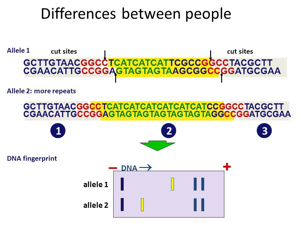 Allele 1 GCTTGTAACGGCCTCATCATCATTCGCCGGCCTACGCTT CGAACATTGCCGGAGTAGTAGTAAGCGGCCGGATGCGAA repeats DNA patterns for DNA fingerprints cut sites GCTTGTAACG GCCTCATCATCATCGCCG GCCTACGCTT CGAACATTGCCG GAGTAGTAGTAGCGGCCG GATGCGAA 123 DNA  –+ allele 1 Cut the DNA
