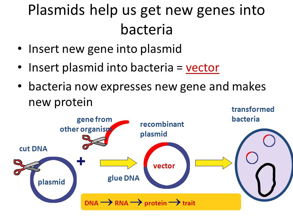 Plasmids Small supplemental circles of DNA 5000 - 20,000 base pairs self-replicating – carry extra genes 2-30 genes genes for antibiotic resistance – can be exchanged between bacteria bacterial sex!.