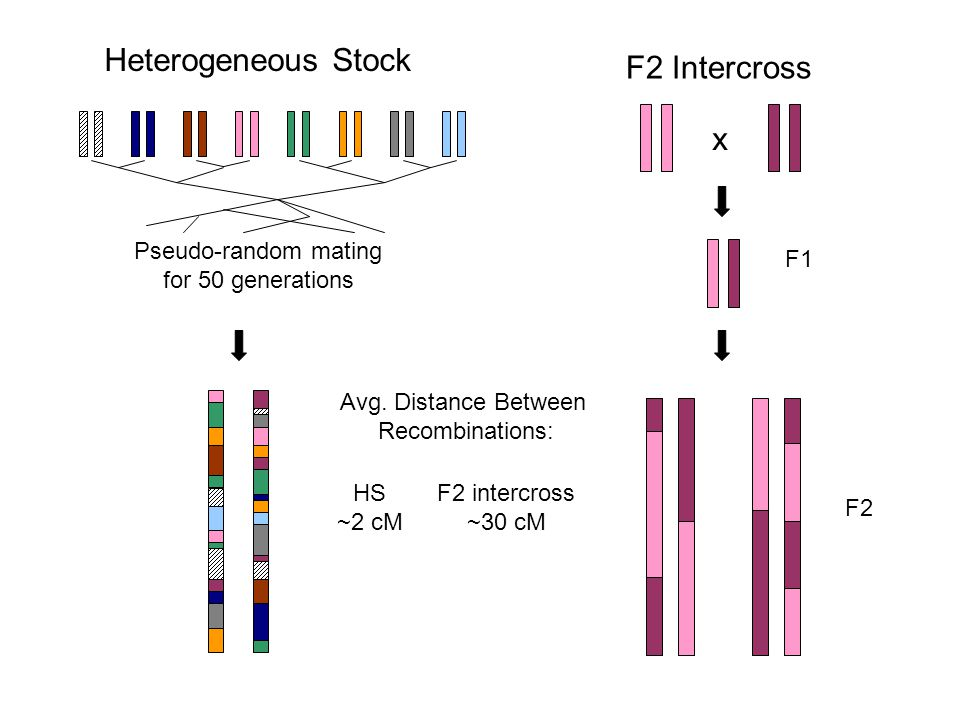 Pseudo-random mating for 50 generations Heterogeneous Stock F2 Intercross x Avg.