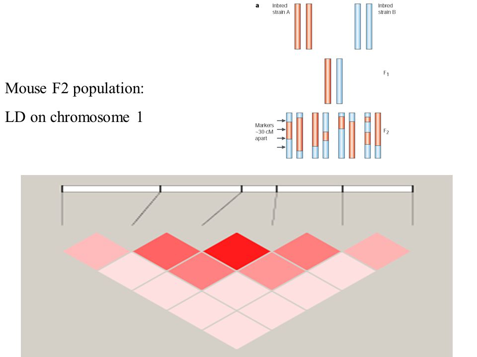 Mouse F2 population: LD on chromosome 1