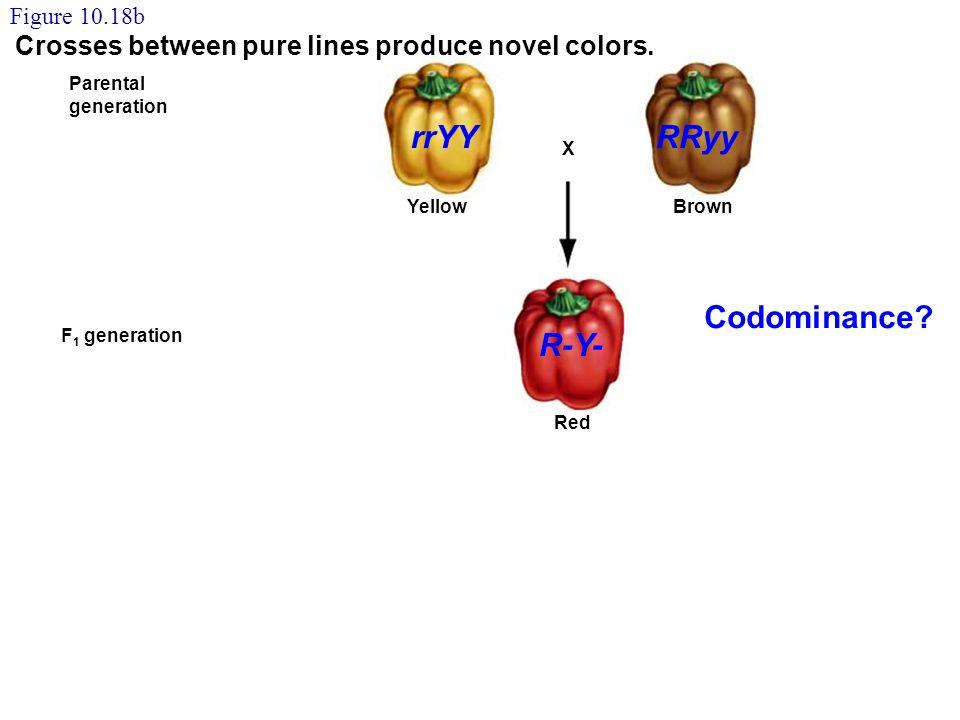 YellowBrown X F 2 generation F 1 generation Parental generation Red 9/16 Yellow 3/16 Brown 3/16 Green 1/16 Red Self-fertilization Figure 10.18b Crosse