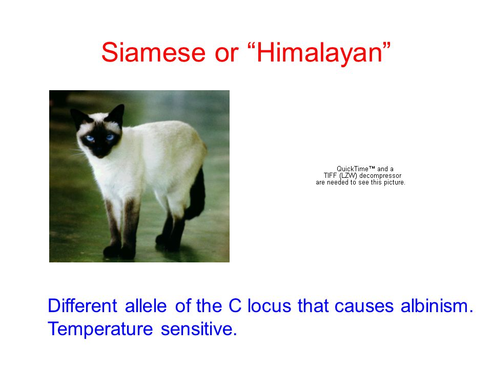 """Siamese or """"Himalayan"""" Different allele of the C locus that causes albinism. Temperature sensitive."""
