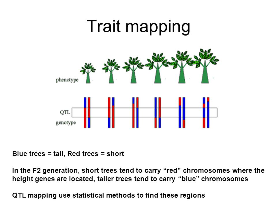 Trait mapping Blue trees = tall, Red trees = short In the F2 generation, short trees tend to carry red chromosomes where the height genes are located, taller trees tend to carry blue chromosomes QTL mapping use statistical methods to find these regions