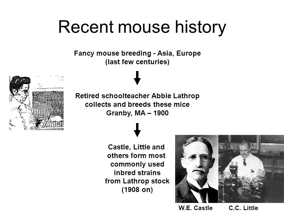 Recent mouse history W.E. Castle C.C.