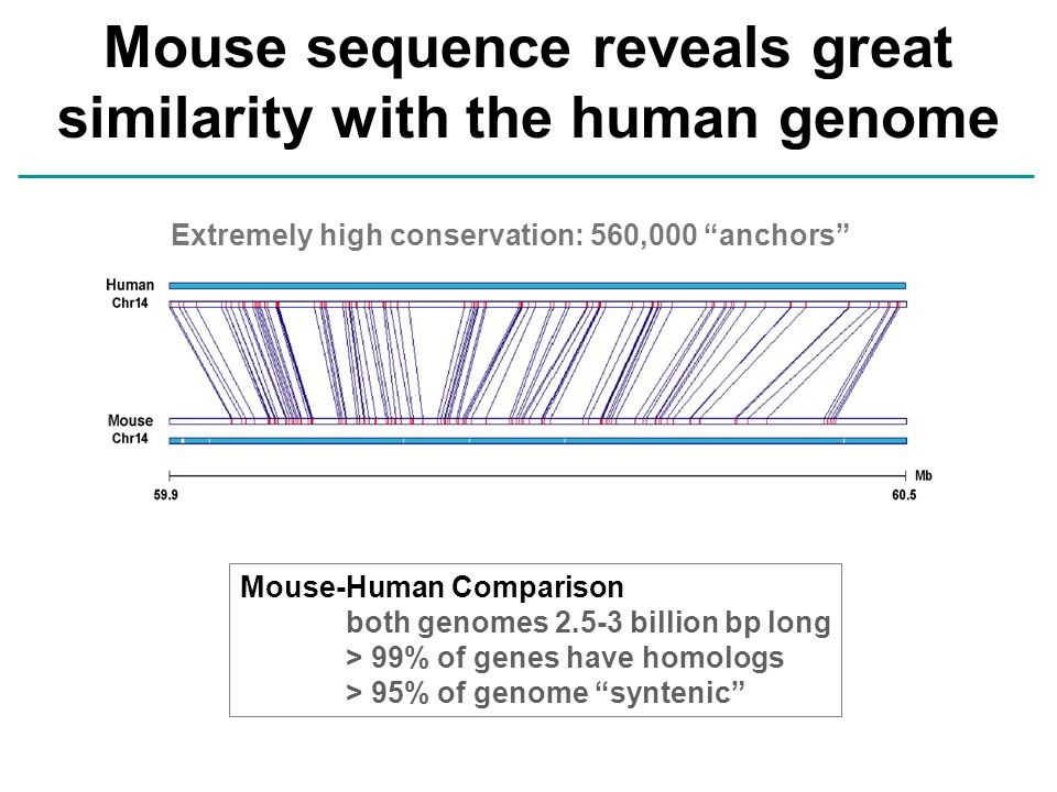 "Mouse sequence reveals great similarity with the human genome Extremely high conservation: 560,000 ""anchors"" Mouse-Human Comparison both genomes 2.5-3"