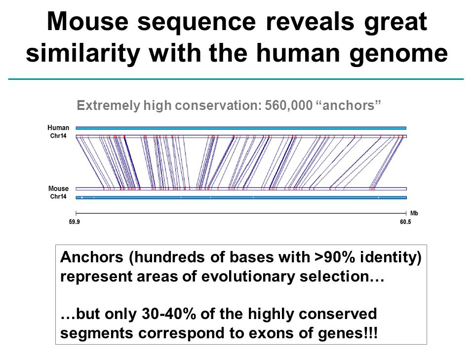 Mouse sequence reveals great similarity with the human genome Extremely high conservation: 560,000 anchors Anchors (hundreds of bases with >90% identity) represent areas of evolutionary selection… …but only 30-40% of the highly conserved segments correspond to exons of genes!!!