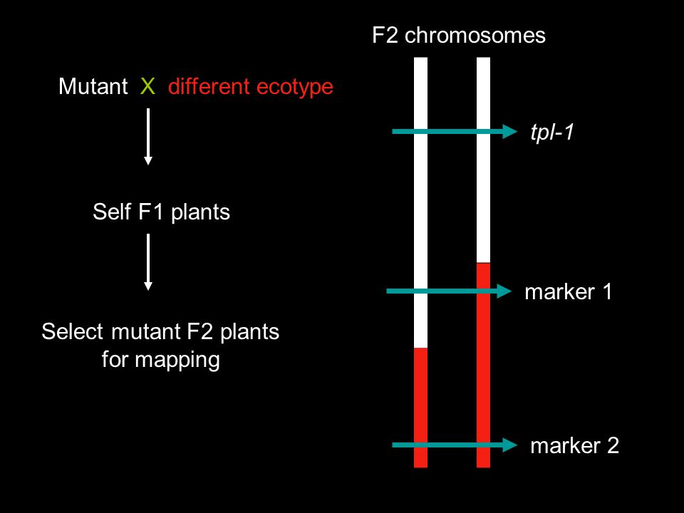 Markers close to your gene will show a bias toward the original ecotype Referred to as linkage Ler Col 9/10 Ler tpl-1 marker 1 marker 2 F2 chromosomes By picking homozygous mutants, you know the ecotype at the mutant locus 5/12 Ler LerCol