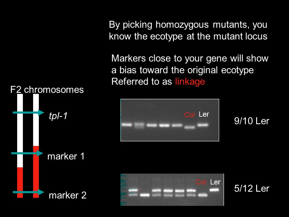 How does recombination frequency get you to your gene.