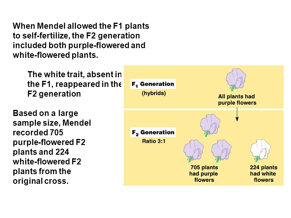 When Mendel allowed the F1 plants to self-fertilize, the F2 generation included both purple-flowered and white-flowered plants. The white trait, absen