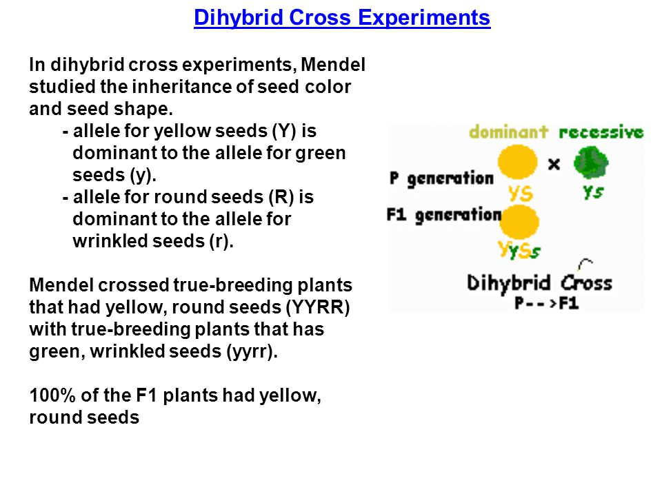In dihybrid cross experiments, Mendel studied the inheritance of seed color and seed shape. - allele for yellow seeds (Y) is dominant to the allele fo