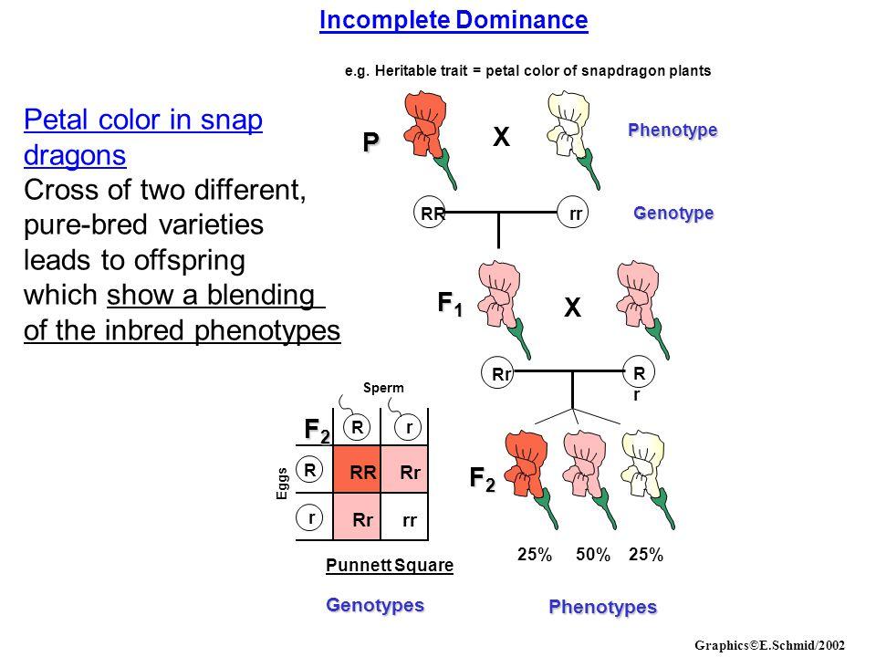Incomplete Dominance e.g. Heritable trait = petal color of snapdragon plants Phenotype Genotype P RRrr X Rr F1F1F1F1 X RrRr 25%50%25% F2F2F2F2 RRRr rr