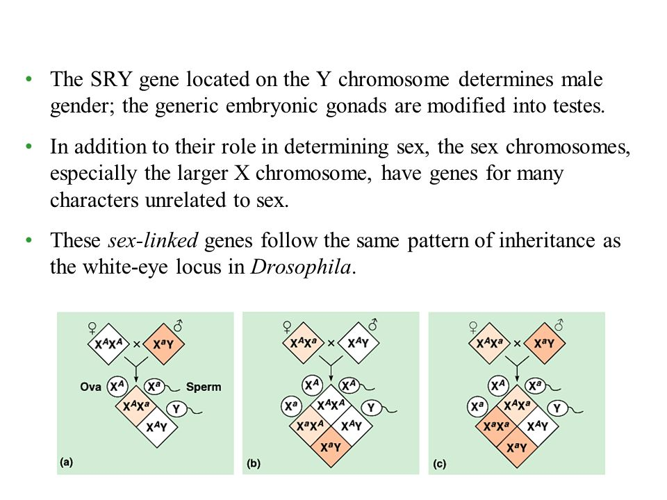 The SRY gene located on the Y chromosome determines male gender; the generic embryonic gonads are modified into testes.