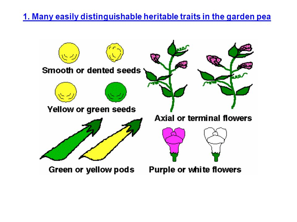 1. Many easily distinguishable heritable traits in the garden pea
