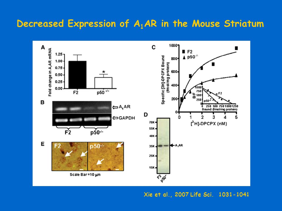Decreased Expression of A 1 AR in the Mouse Striatum Xie et al., 2007 Life Sci. 1031-1041