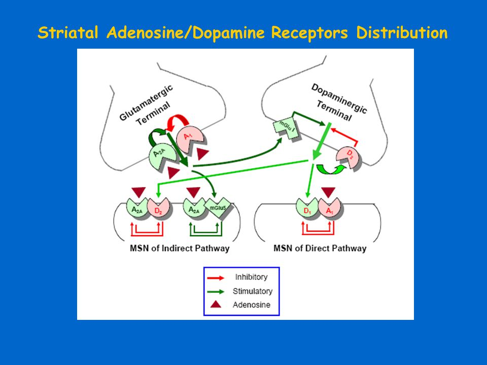 Striatal Adenosine/Dopamine Receptors Distribution