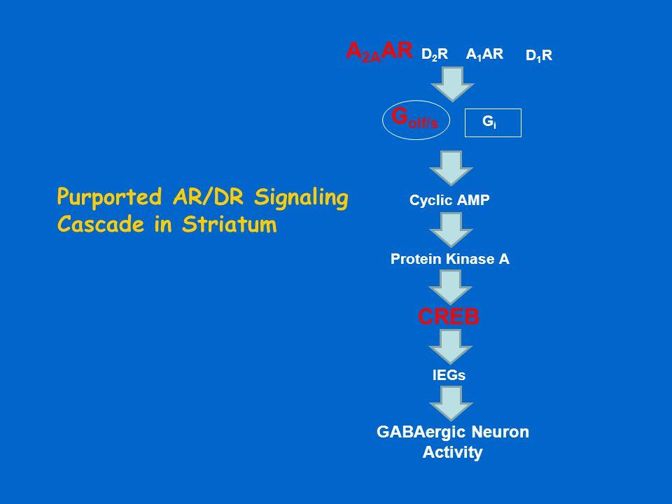Purported AR/DR Signaling Cascade in Striatum G olf/s GiGi A 1 AR A 2A AR D2RD2R D1RD1R Cyclic AMP Protein Kinase A CREB IEGs GABAergic Neuron Activit