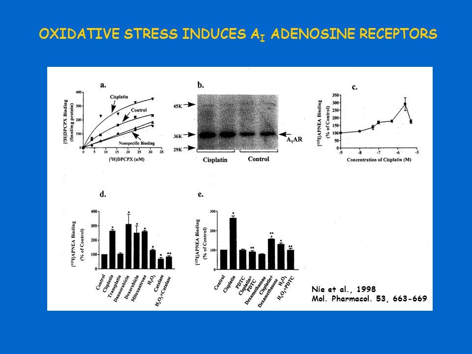 OXIDATIVE STRESS INDUCES A I ADENOSINE RECEPTORS Nie et al., 1998 Mol. Pharmacol. 53, 663-669