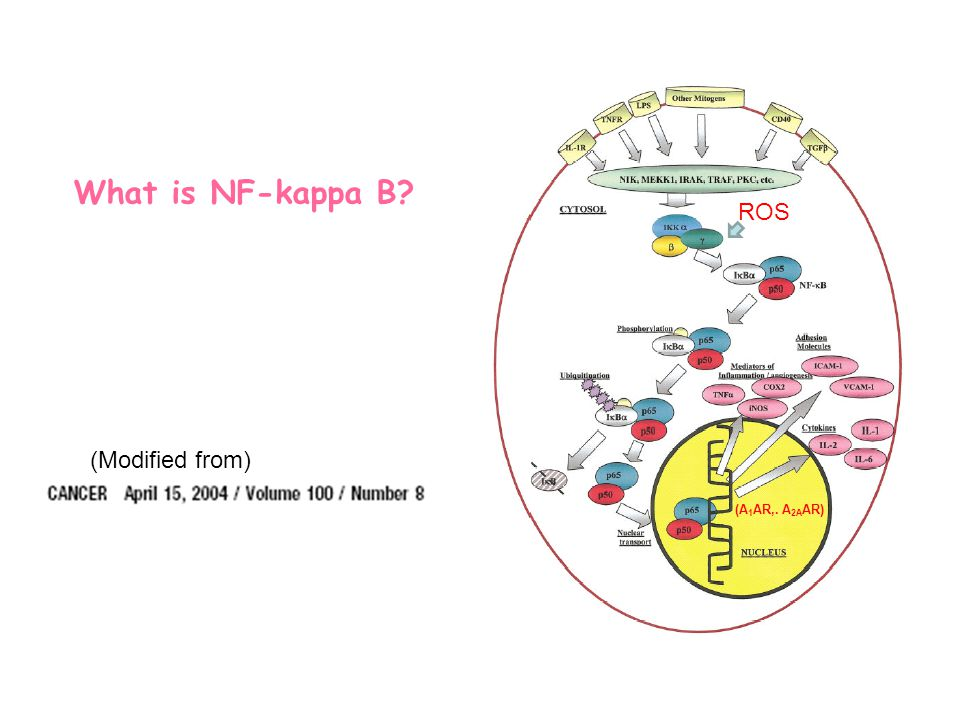 Does Disruption of NF-  B Function Alter Expression of A 1 and A 2A AR.