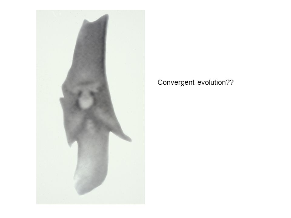 Convergent evolution??